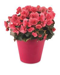 Irish Grown Begonia Planter
