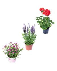 Easy Care Irish Pots & Border Plants