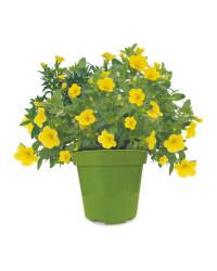 Instant Colour Plants 13cm Pots