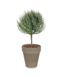 Potted Herb Thyme