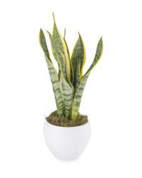 Sansevieria In Ceramic Pot